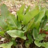 Edible weeds: How to ID wild broad-leaved dock and cook it