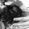 How to harvest Uni in BC  (sea urchin roe)