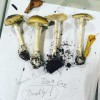 Don't freak out! Safety tips on Death Cap mushrooms