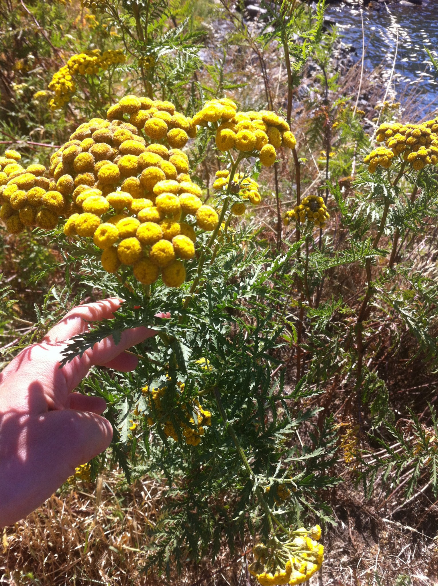 Wild Tansy Edible Or No