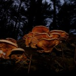Foraging in winter - What can you eat?  Fall oyster mushrooms!