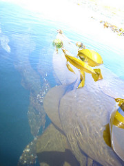 kelp beds - uni harvest