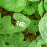 Foraging fun: False lily of the valley