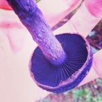 The prettiest mushrooms in BC - Violet Cortinarius