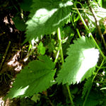 Foraging for stinging nettles in BC