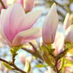 Magnolia tree in bloom in spring in Vienna Austria